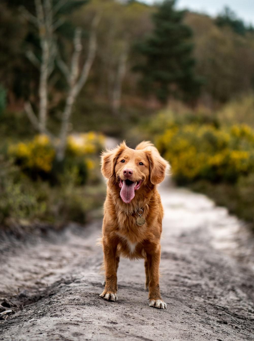 golden retriever on dirt path