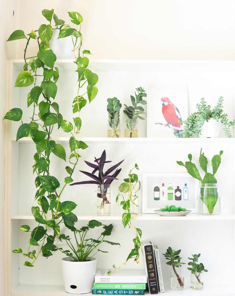 devil's ivy plant