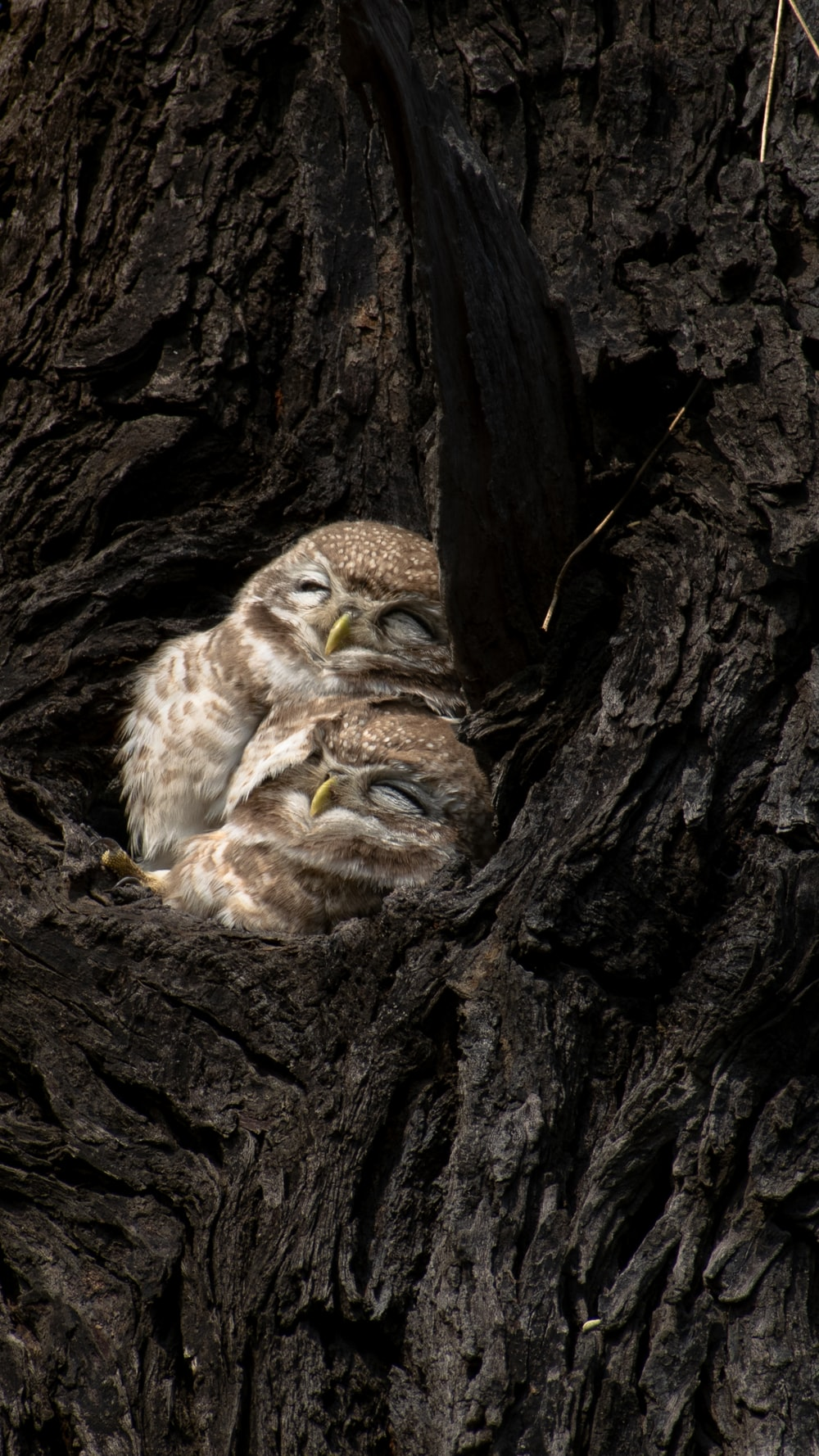brown owlets in nest