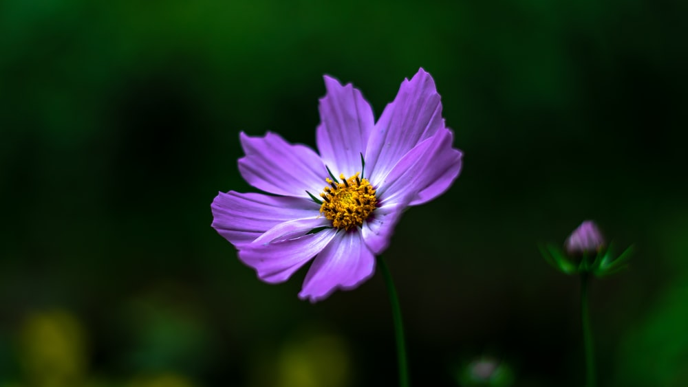 purple petaledflower