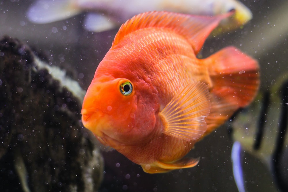 Image result for parrot fish