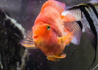 orange and gray white fish in water