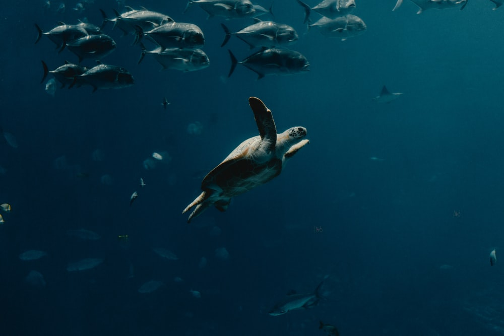 underwater photography of turtle and fish