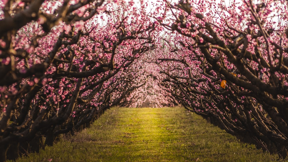 pathway between pink petaled flower trees