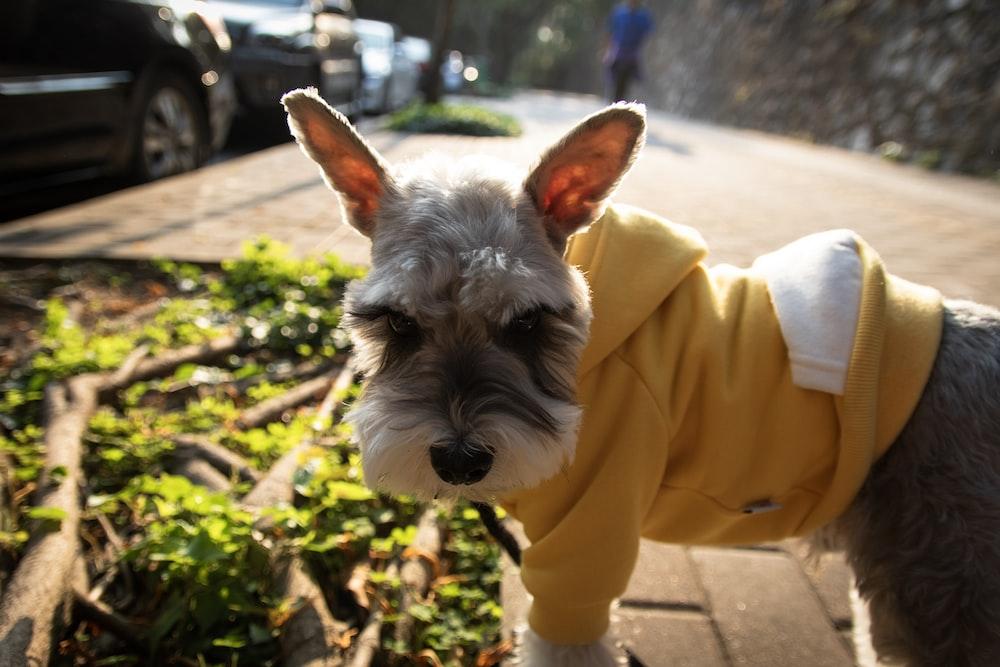 short-coatedgray dog