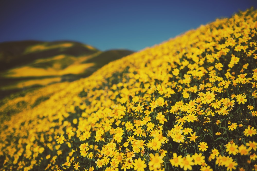 yellow petaled flower field during daytime