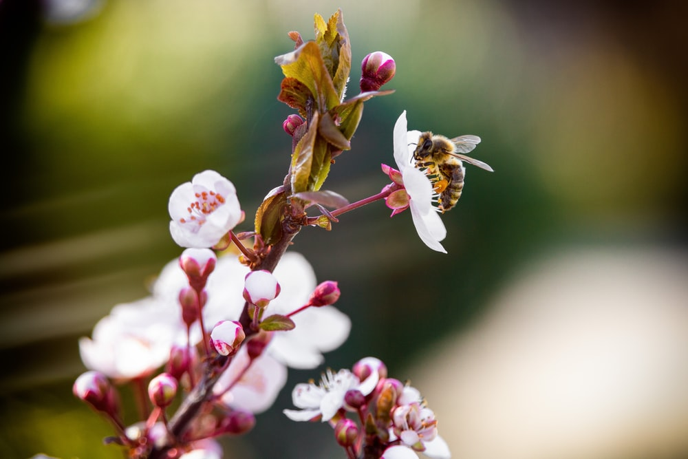 selective focus photography of brown bee on pink petaled flowers