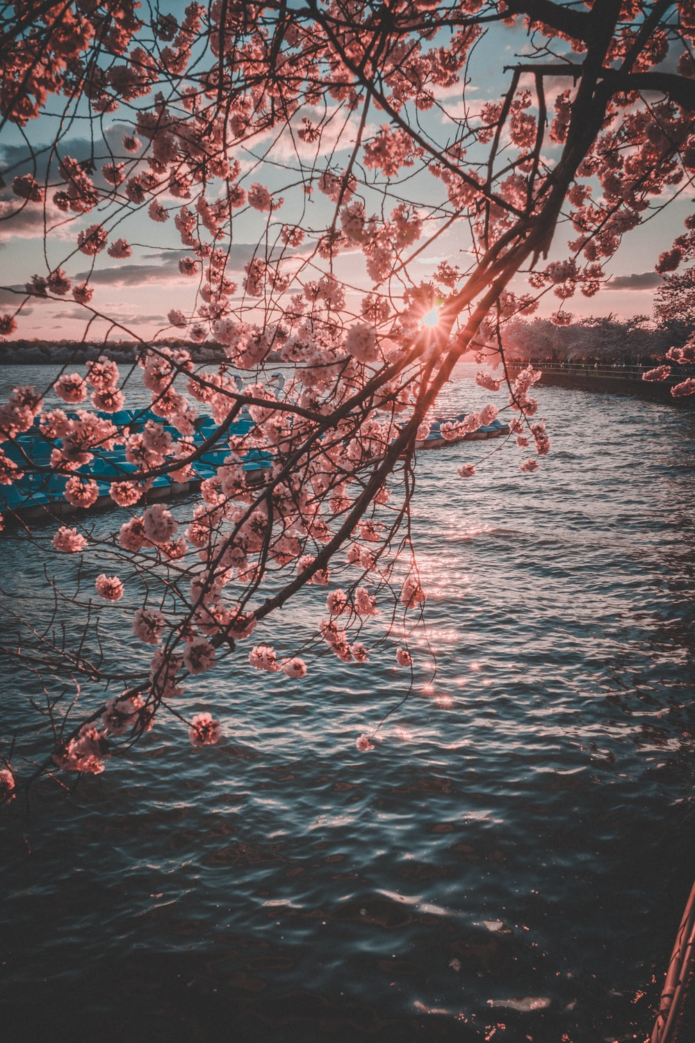 pink cherry blossoms beside sea during golden hour