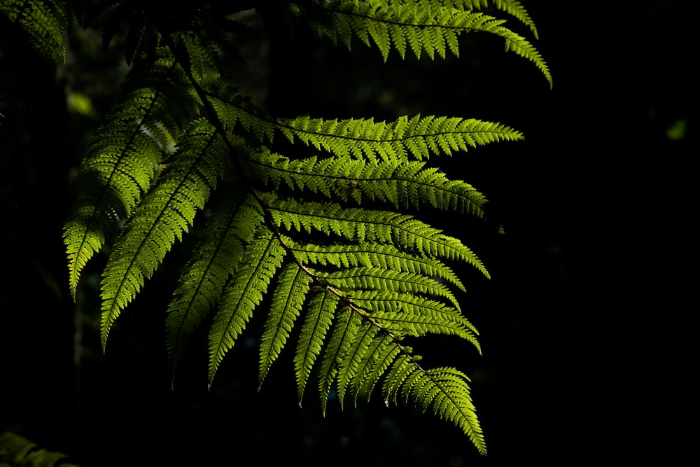 green boston fern