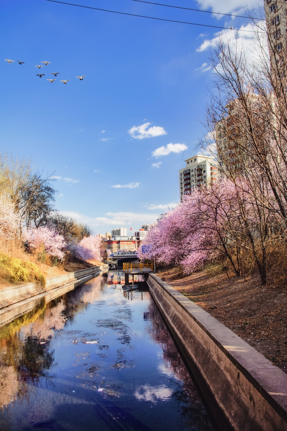 pink cherry blossom beside canal during day time
