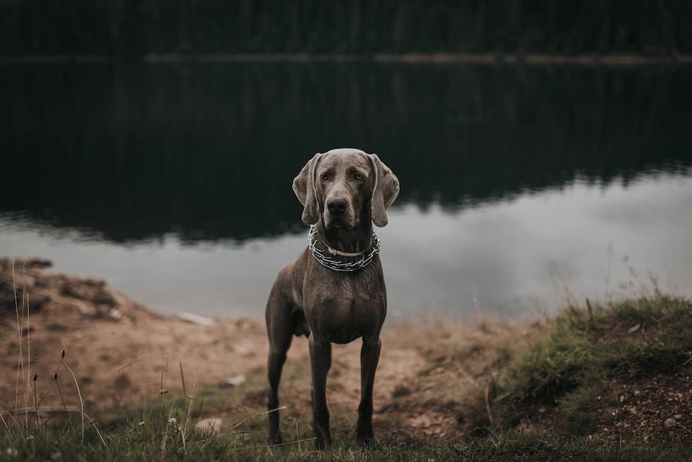 black dog standing near body of water