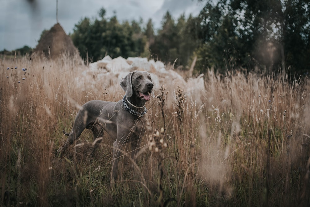 gray dog standing on grass