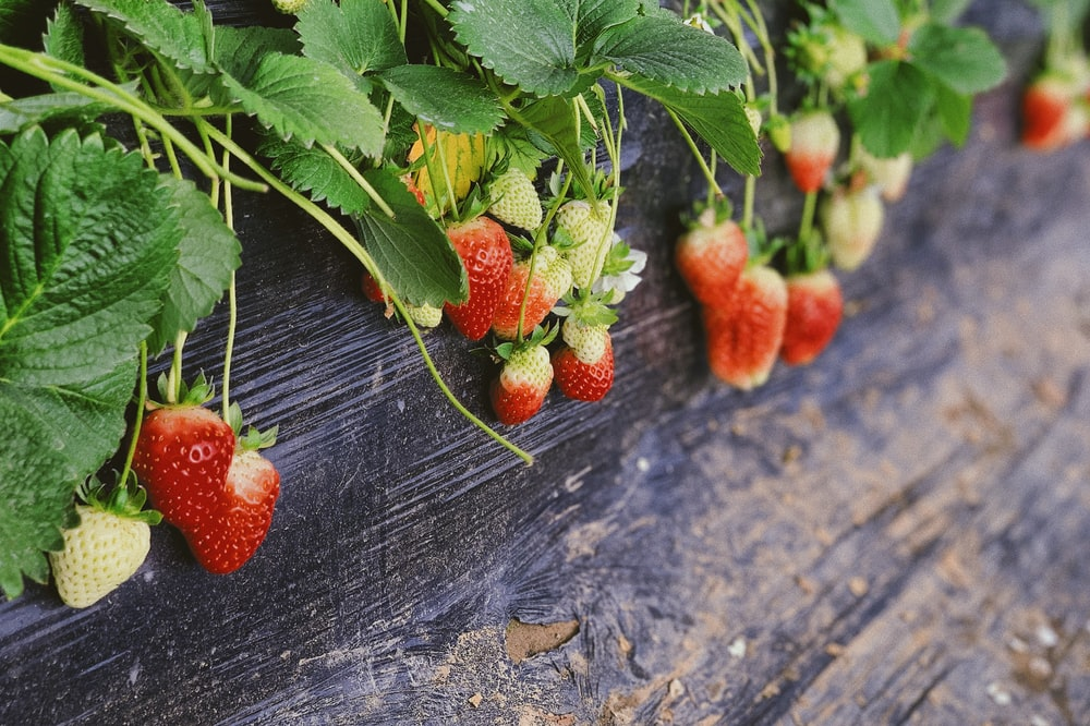 strawberries plant in pot