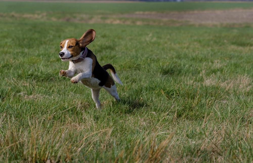beagle leap on grass field