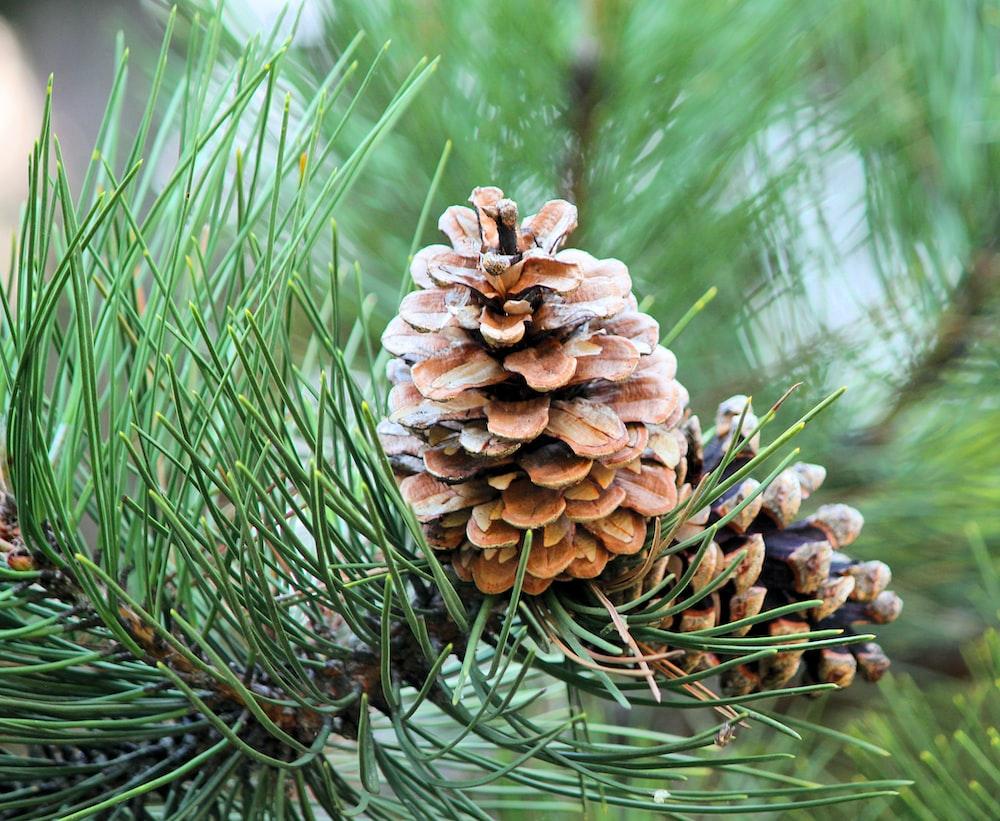 brown pinecones