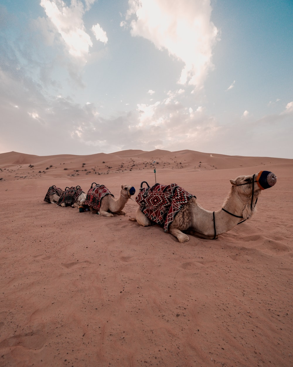 three camels lying on sand