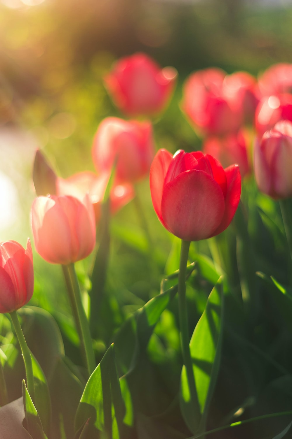 Best 500 Tulip Pictures Hd Download Free Images On Unsplash