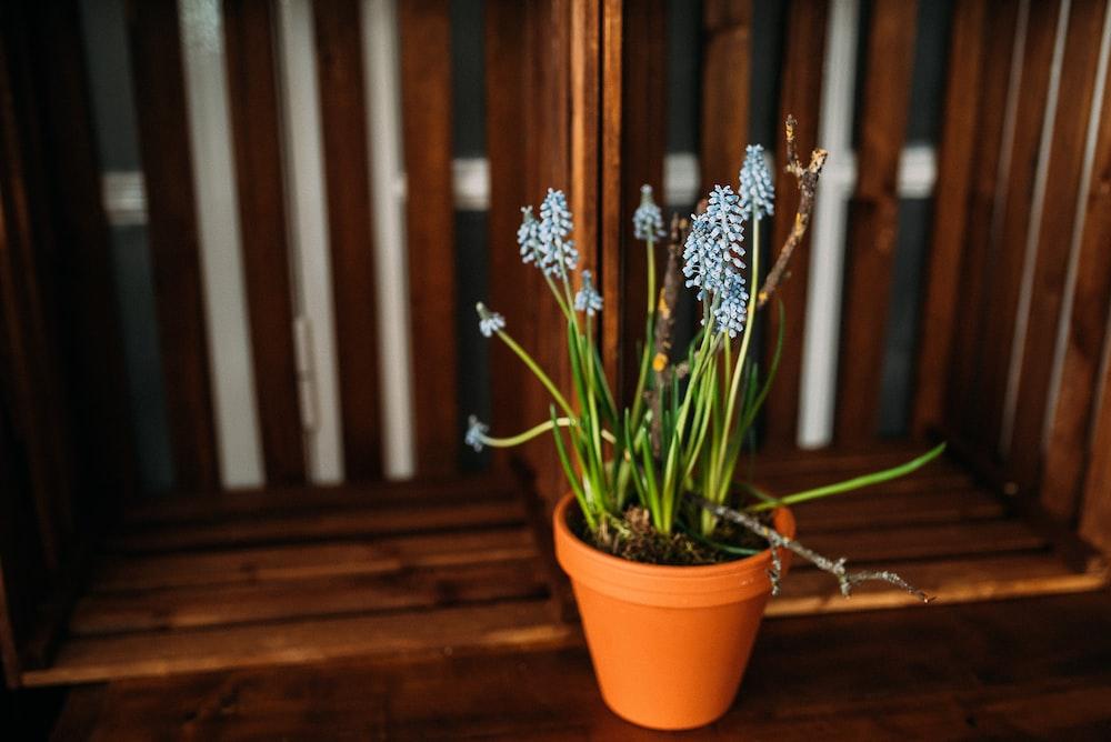 blue petaled flower on pot