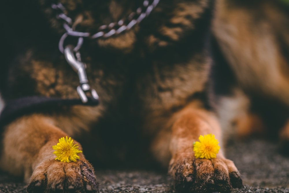 dog lying with flowers on hands
