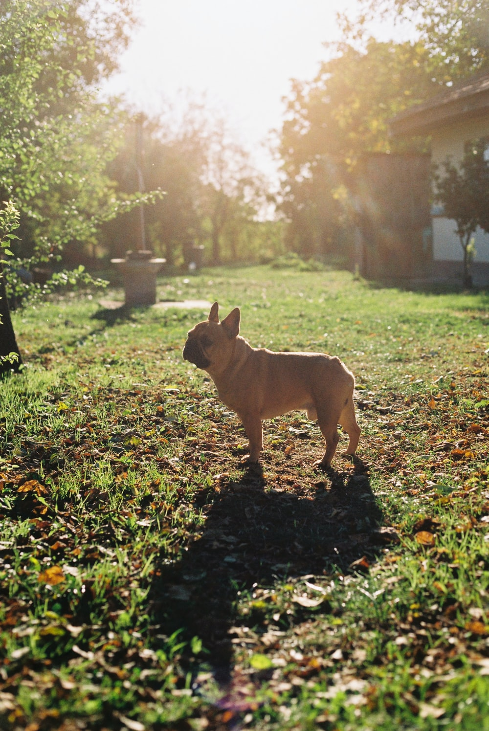 brown French Bull dog