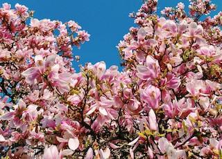 pink petaled flower tree under blue sky during daytime