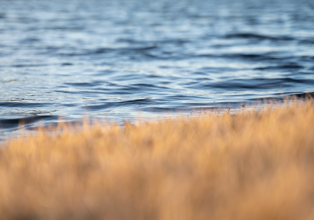 brown grass near body of water