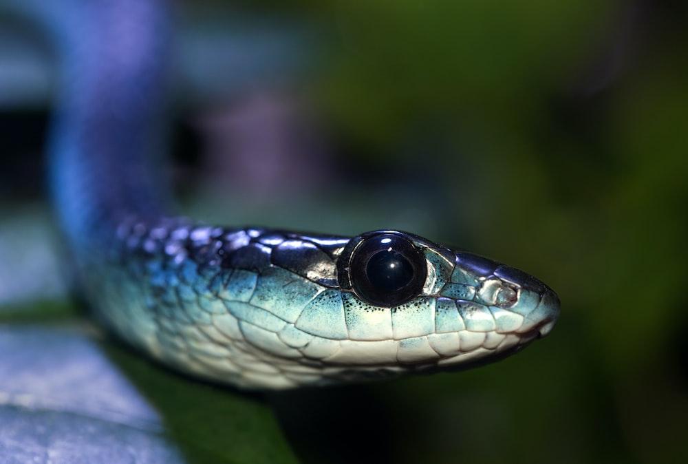 gray snake