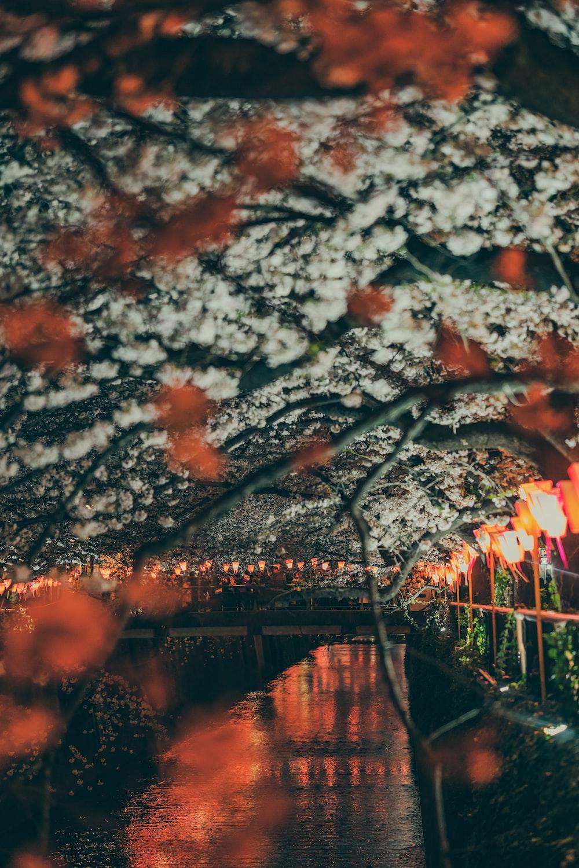 cherry blossom trees near lake