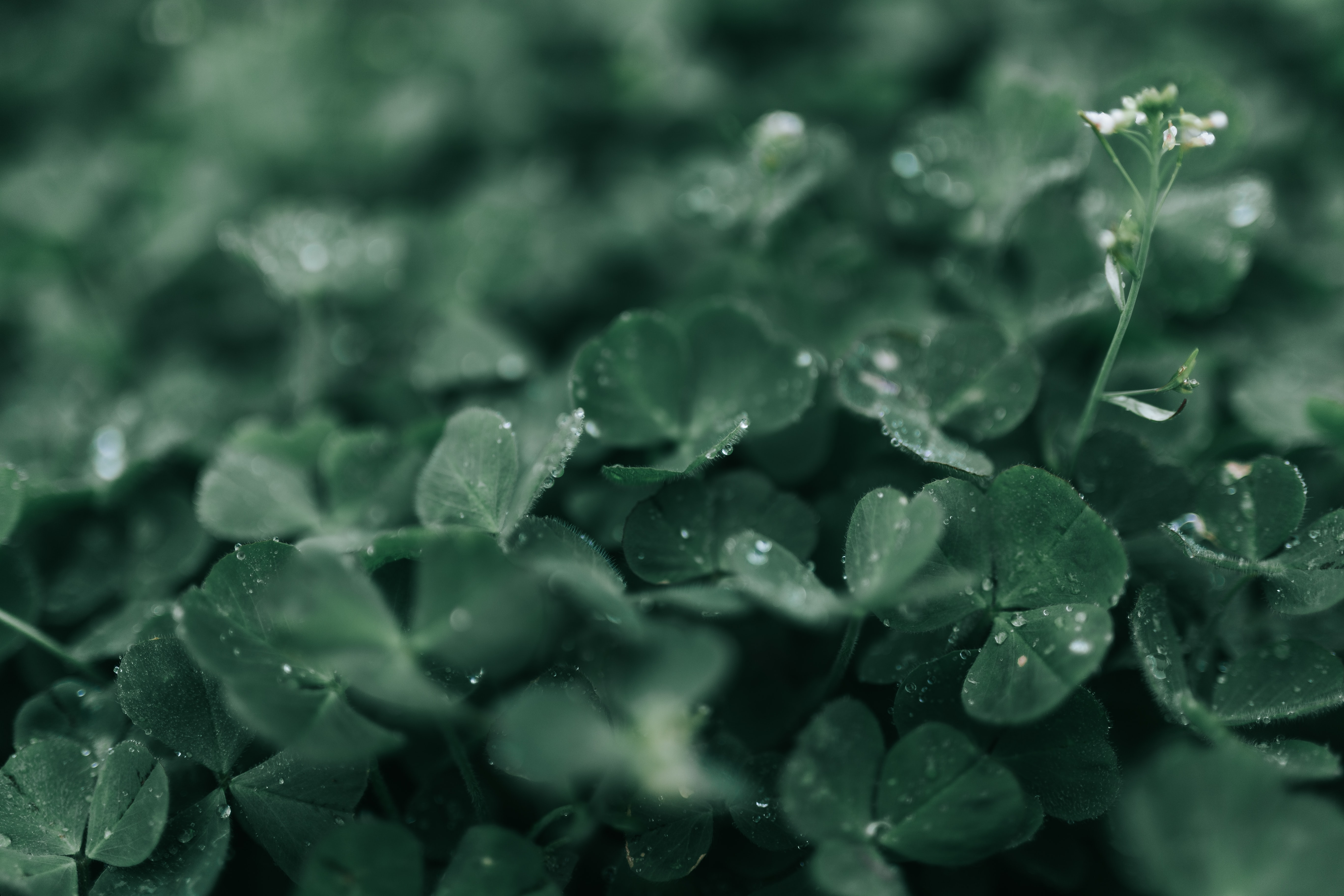 closeup photography of green clover plant