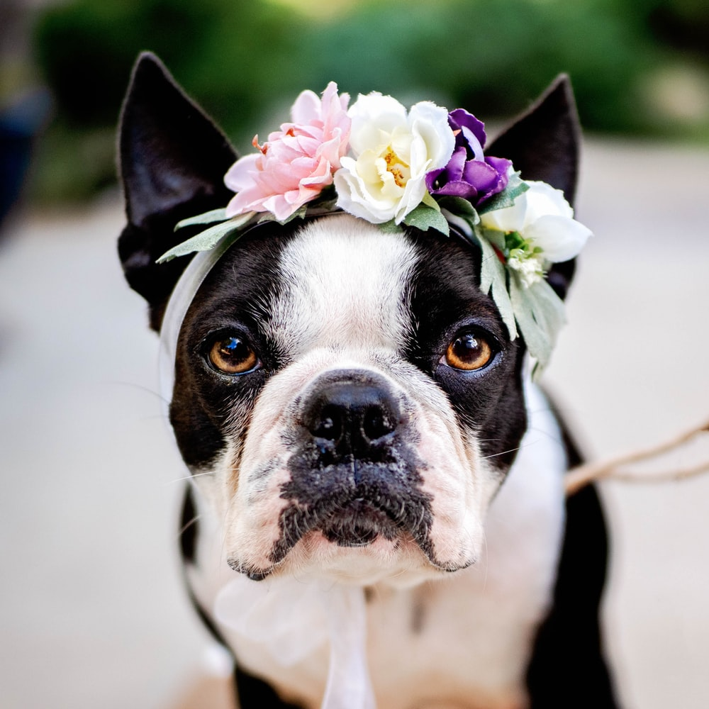 short-coated white and black dog wearing floral headdress