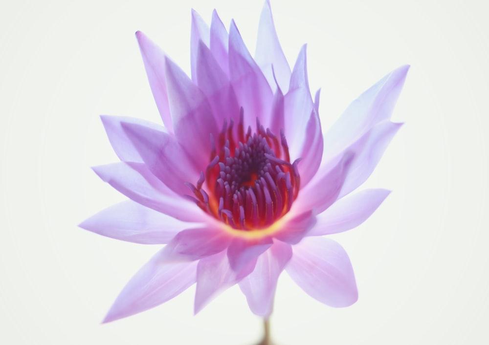 one blooming purple lotus flower