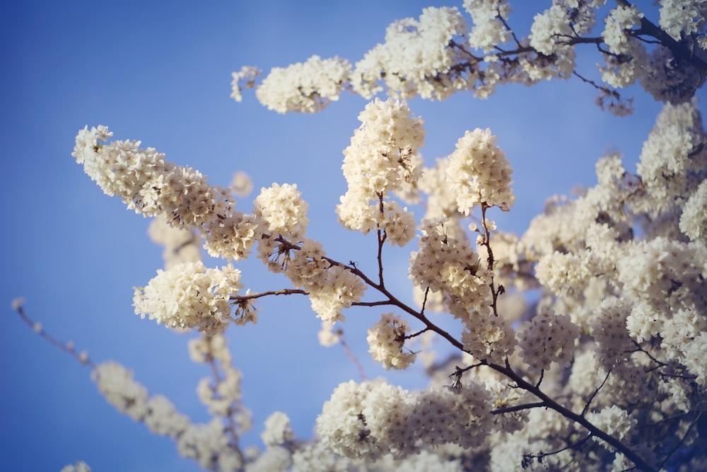 White Flowering Trees During Daytime Photo Free Plant Image On