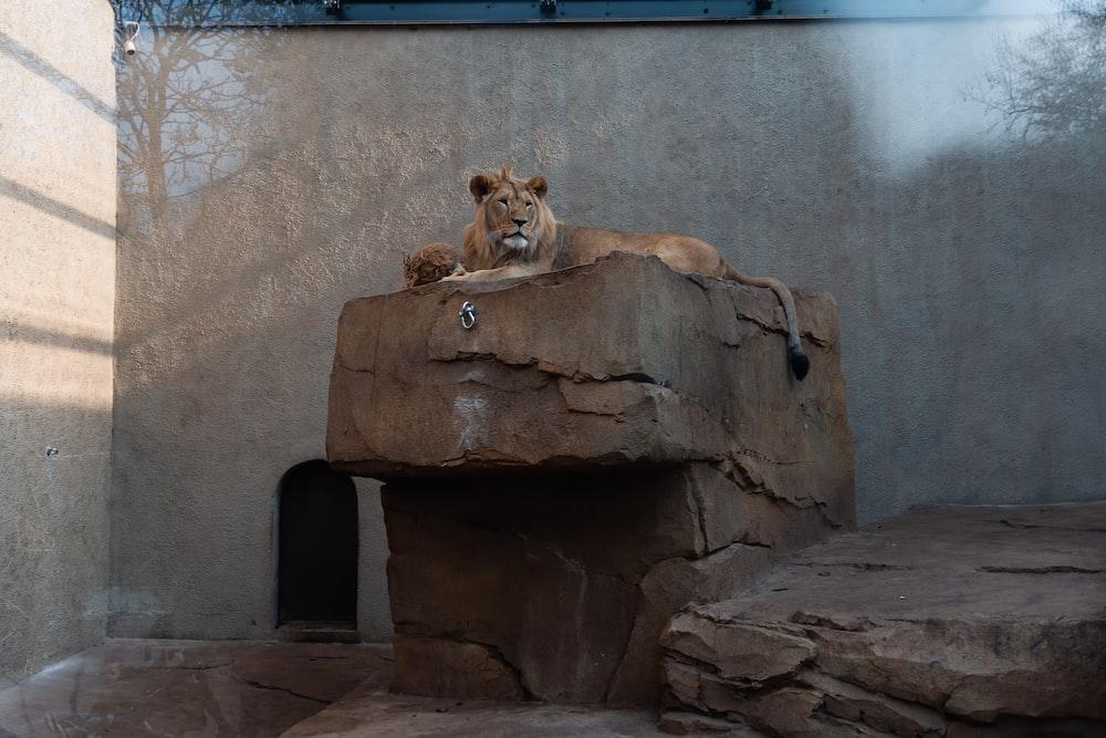 lion on rock in zoo