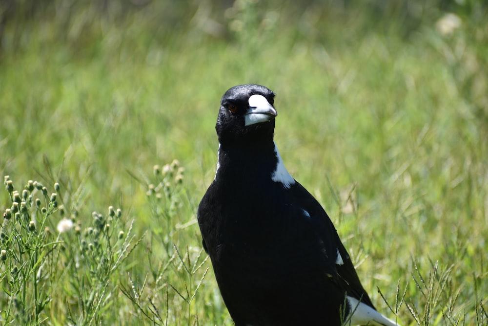 black and gray bird on green field