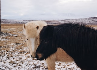 two white and black horse