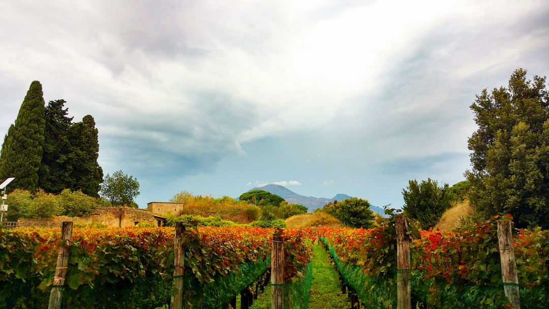 A view of Mt Vesuvius through a vineyard from the Pompeii ruins near Naples, Italy.