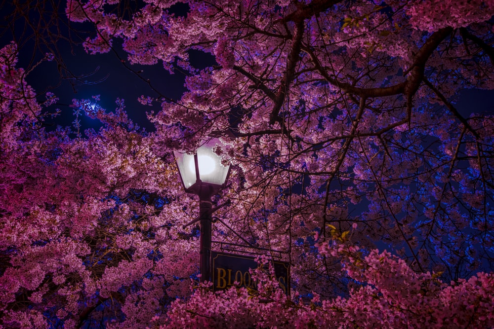 street lamp surrounded by cherry blossom
