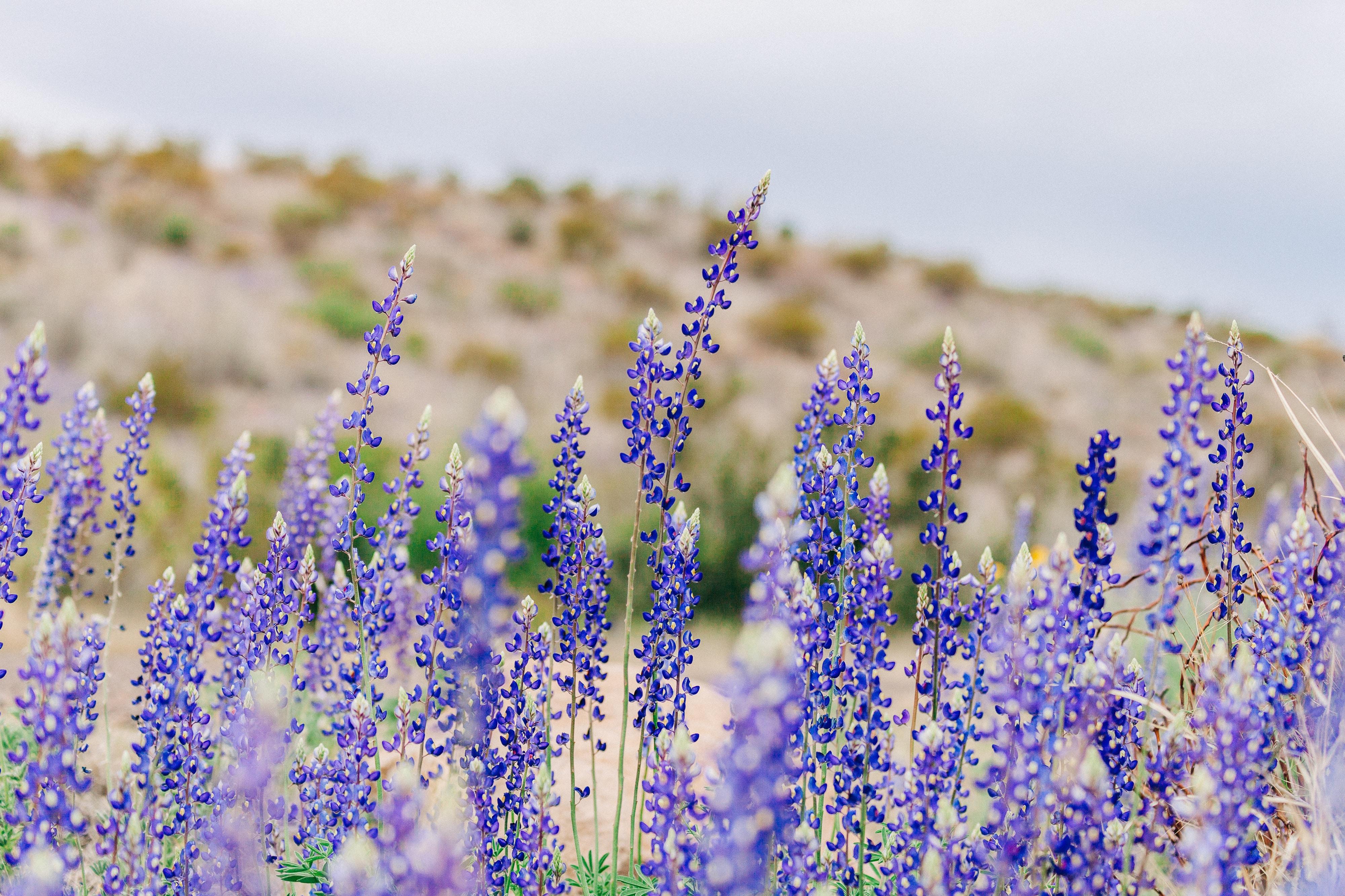 purple lavenders