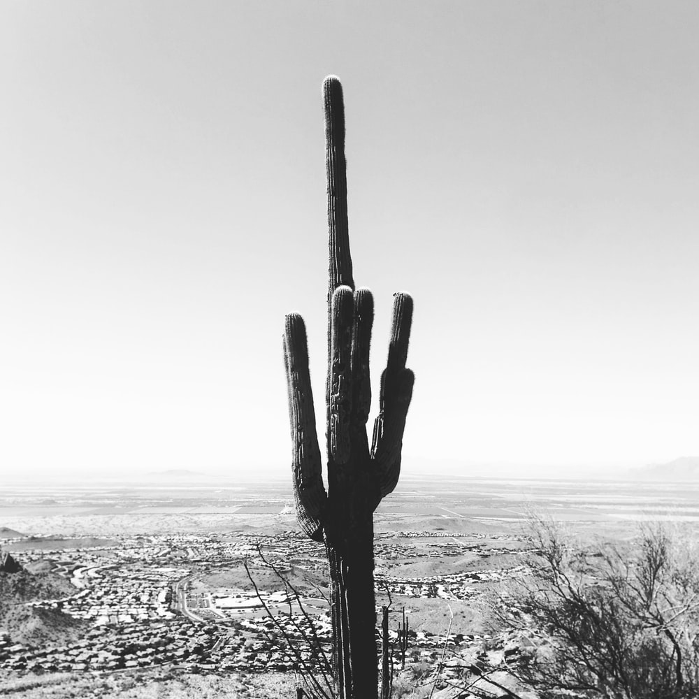 grayscale photography of cactus plant