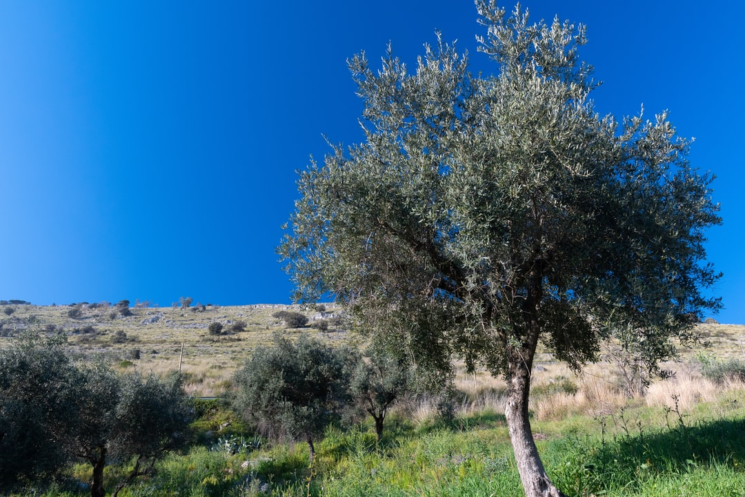 A young Olive tree stands up to the sky at the base of the hill.