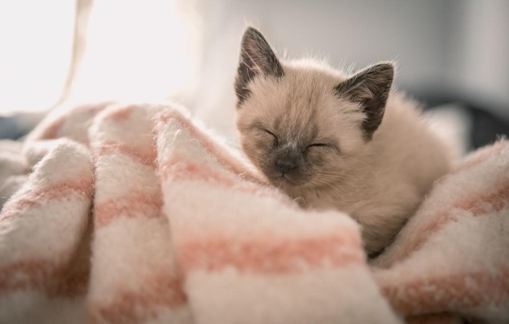 Siamese kitten on pink textile