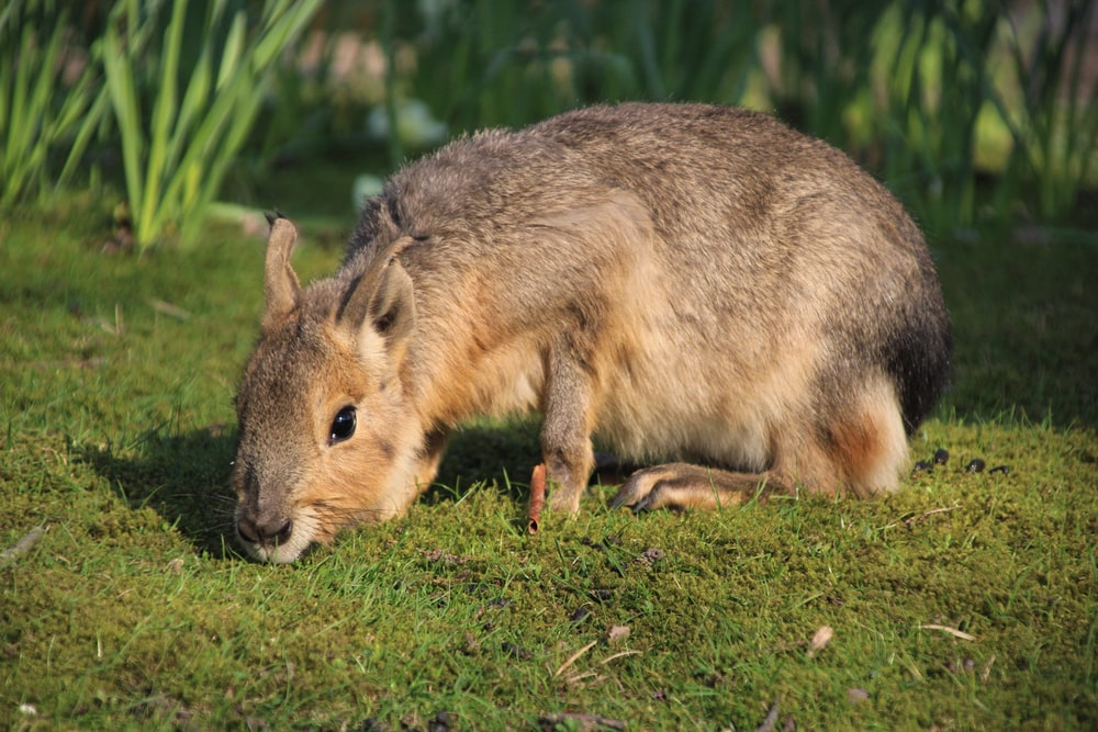 brown and grey mammal lying on grass