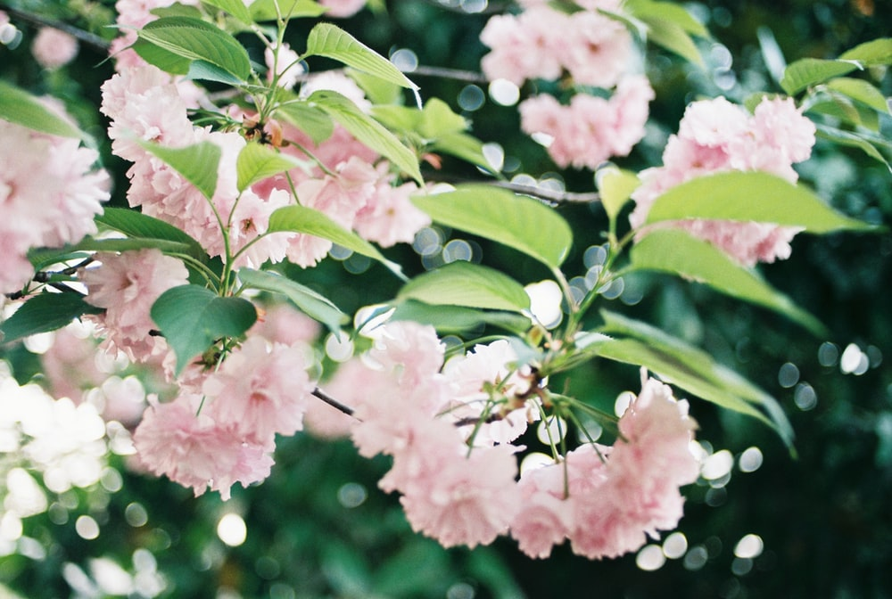 blooming pink flowers in selective focus photography