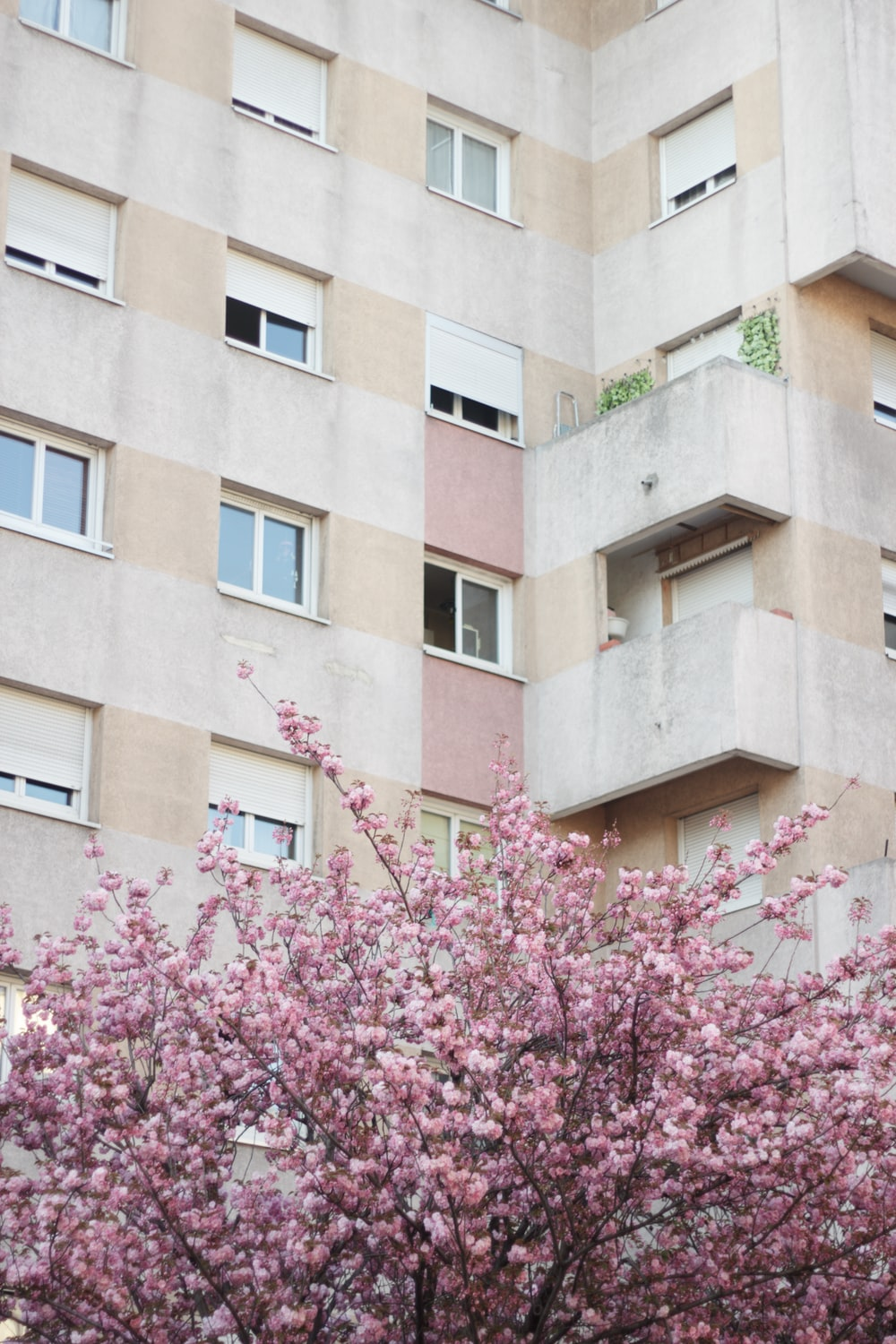 cherry blossoms beside building