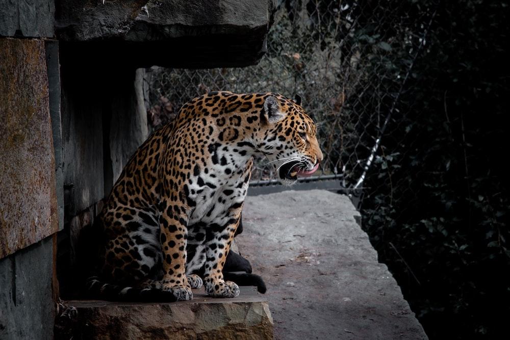 leopard on brown concrete surface