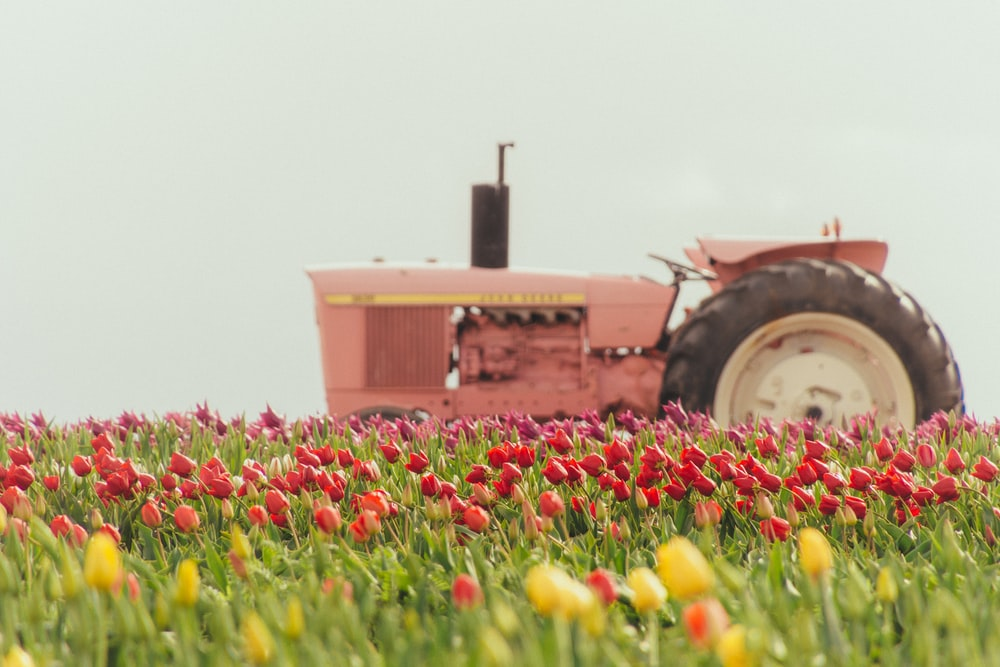 pink tractor on tulip flower field