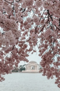 Beautiful weekend in Washington DC and the Cherry Blossoms were at peak! A must see for any tourists in DC. Enjoy!
