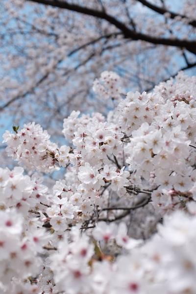 white blooming cherry blossom tree