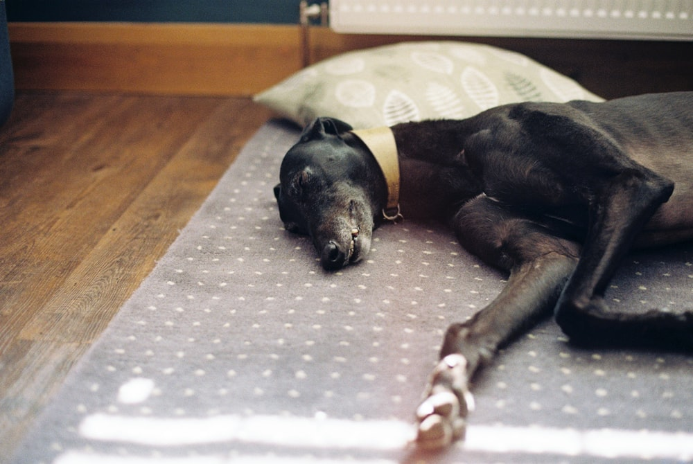 black greyhound sleeping