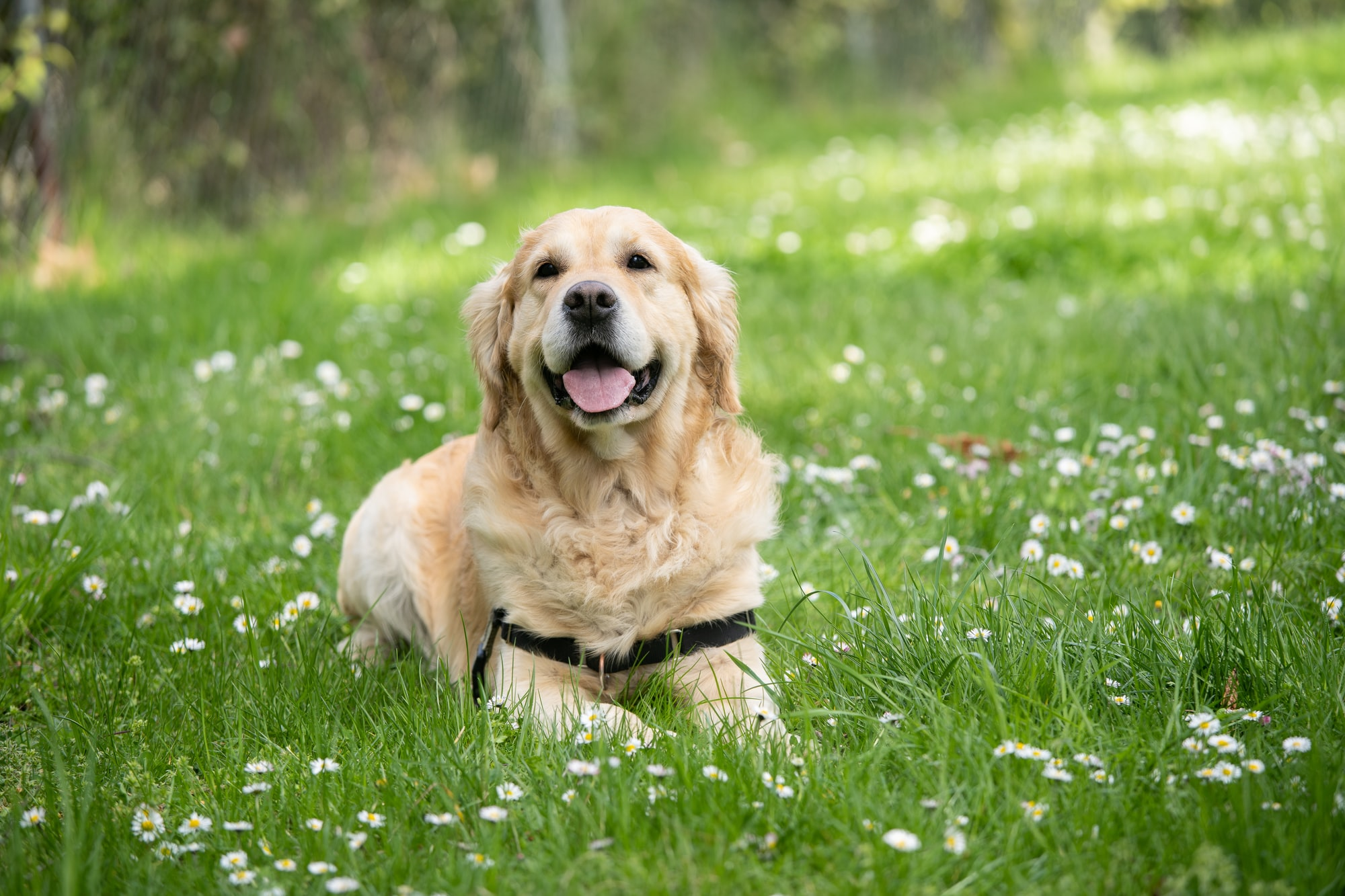 dog, dog names, dog in grass, golden retriever
